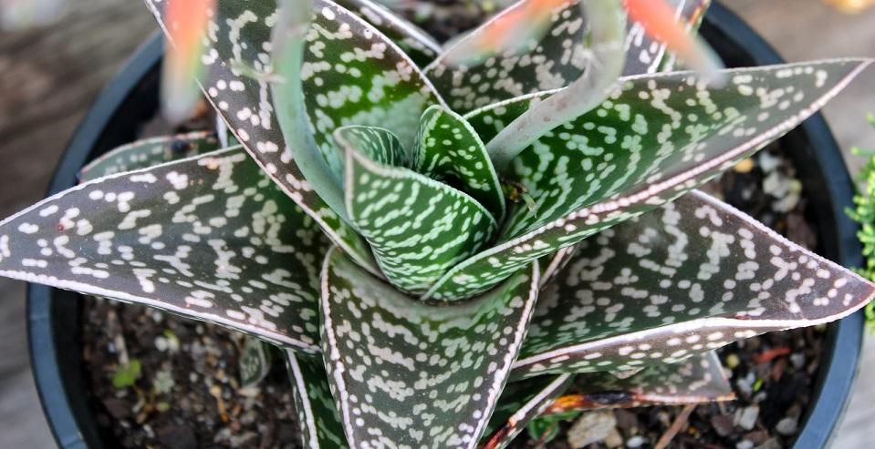 Алоэ пестрое (Aloe variegata)