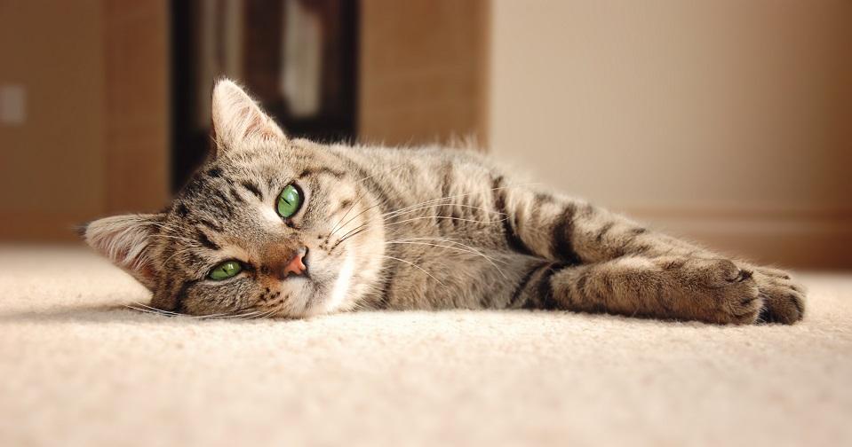 Как убрать шерсть от кошки с ковра