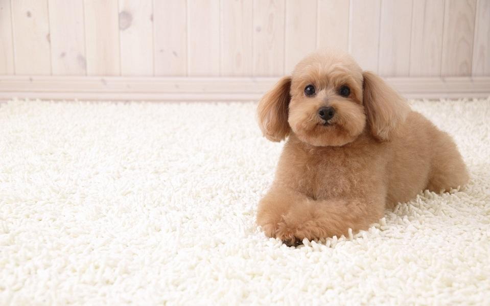 puppy-on-carpet