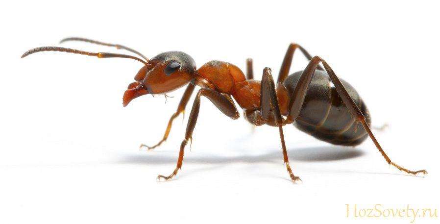 как избавиться от рыжих муравьев1