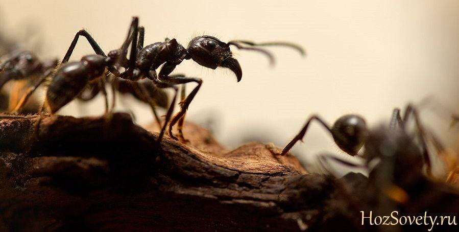 черные муравьи1