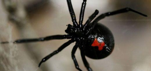 черный паук2