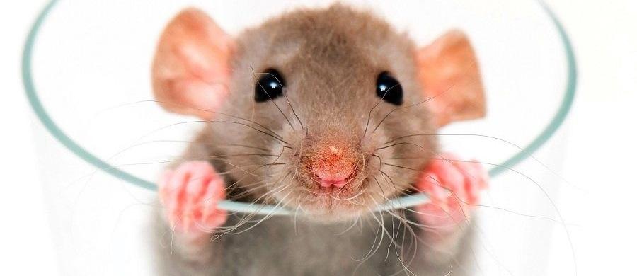 Как избавиться от крыс? – быстро и навсегда в домашних условиях