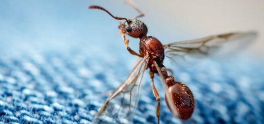 муравей с крыльями