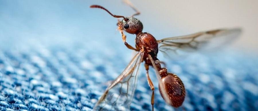 Летающие муравьи  описание и способы избавления