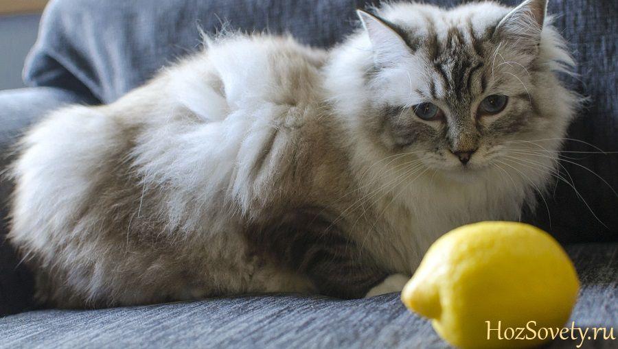 кошка и лимон